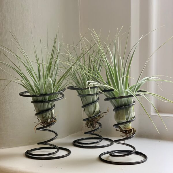 Air Plant With Wire Stand